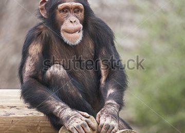 Nice Chimpanzee Image