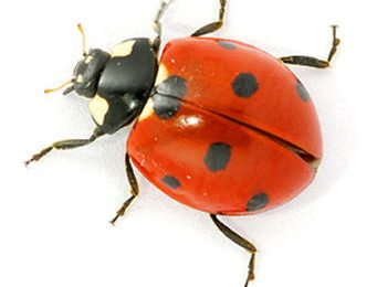 Super Ladybird