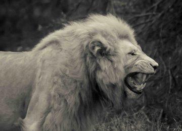 Widescreen White Lion