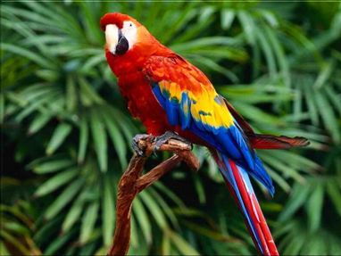 Beautiful Red Macaw