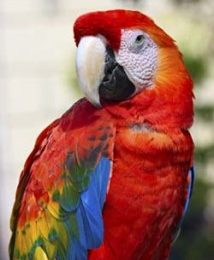 Cute Red Macaw