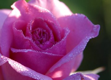 Stunning Purple Rose