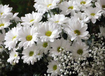 Best White Daisy