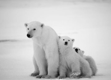 Free Polar Bear