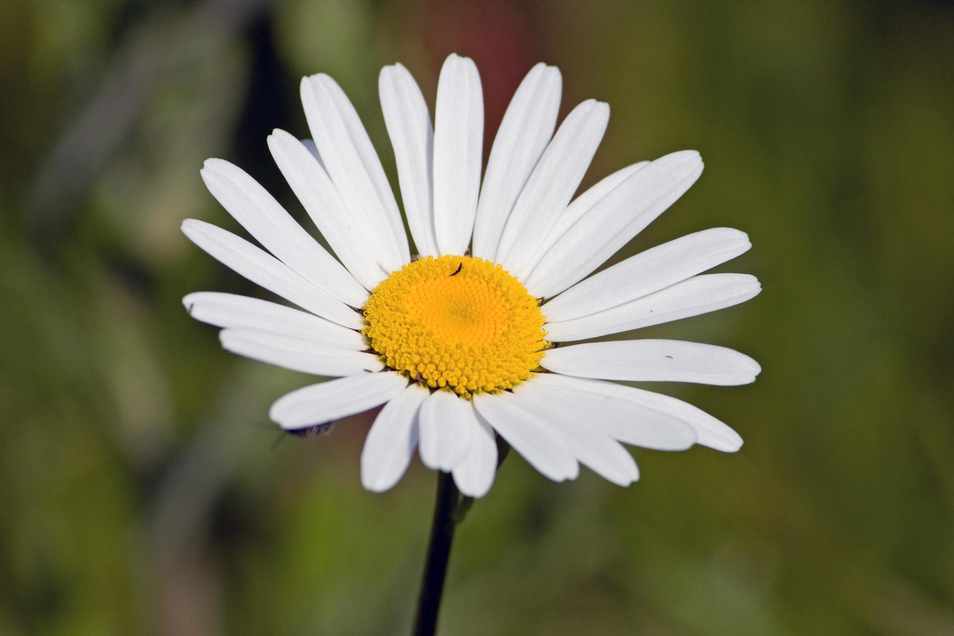 Free White Daisy