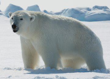 Nice Polar Bear