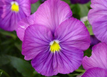 Cool Violet Flower