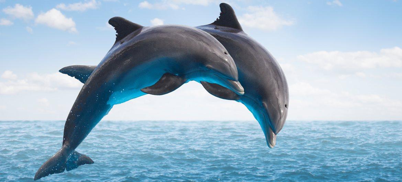Dolphin Fact