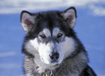 Free Alaskan Malamute