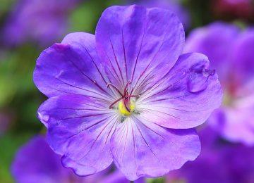 Free Violet Flower