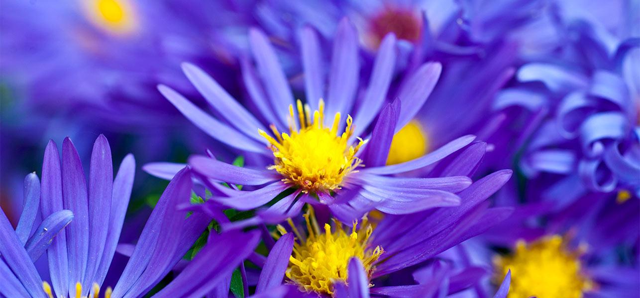 Natural Violet Flower