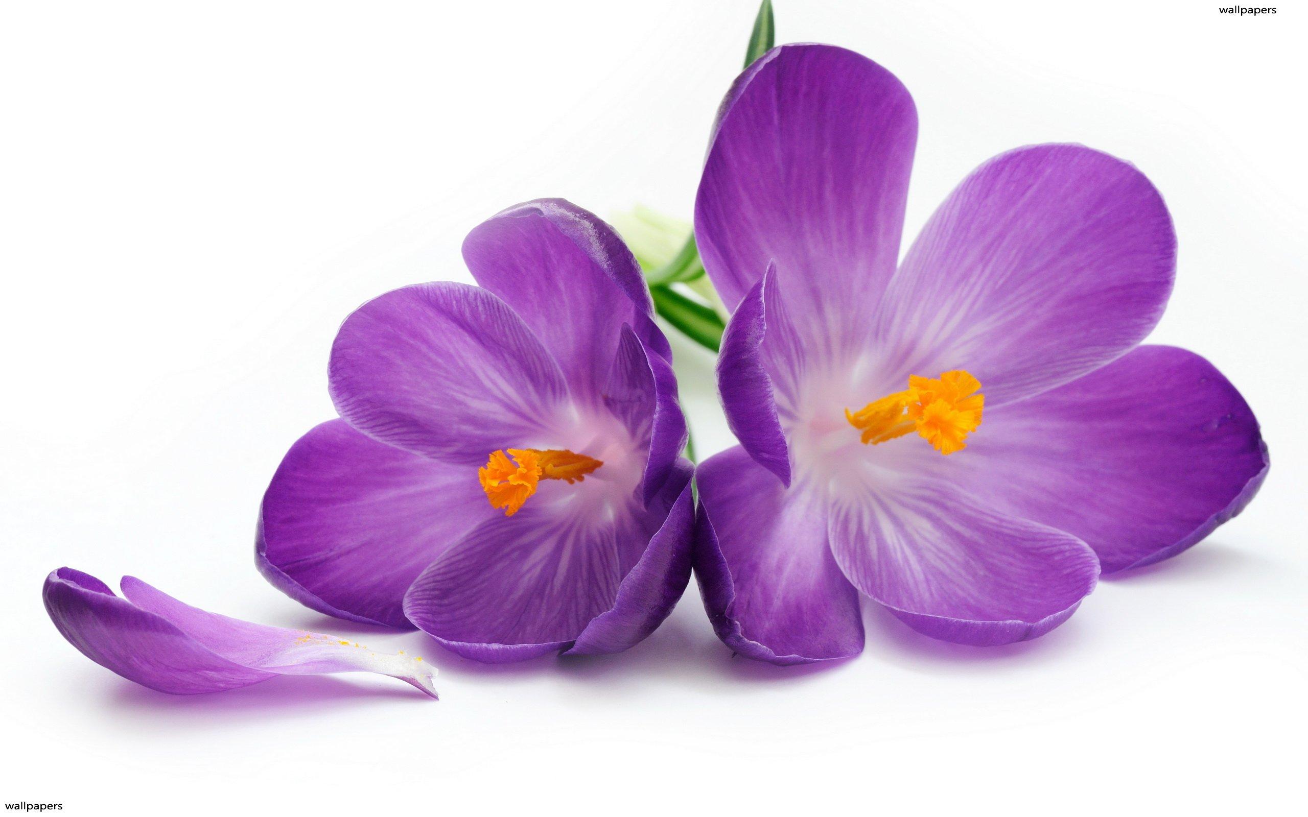 Nice Violet