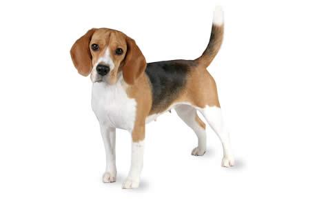 Best Beagle