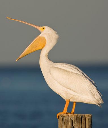 Cute Pelican