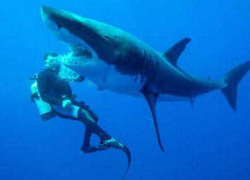 Free White Shark