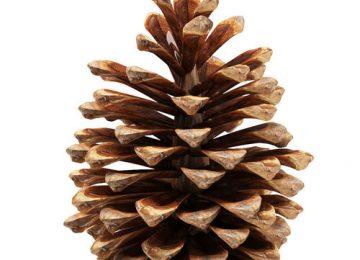 HD Pine Cone