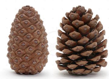 Natural Pine Cone