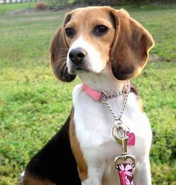 Nice Beagle