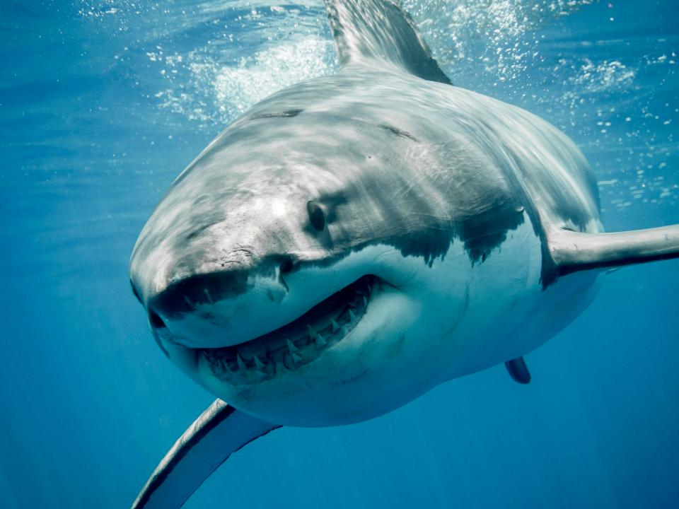 Nice White Shark