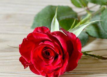 Nice rose image