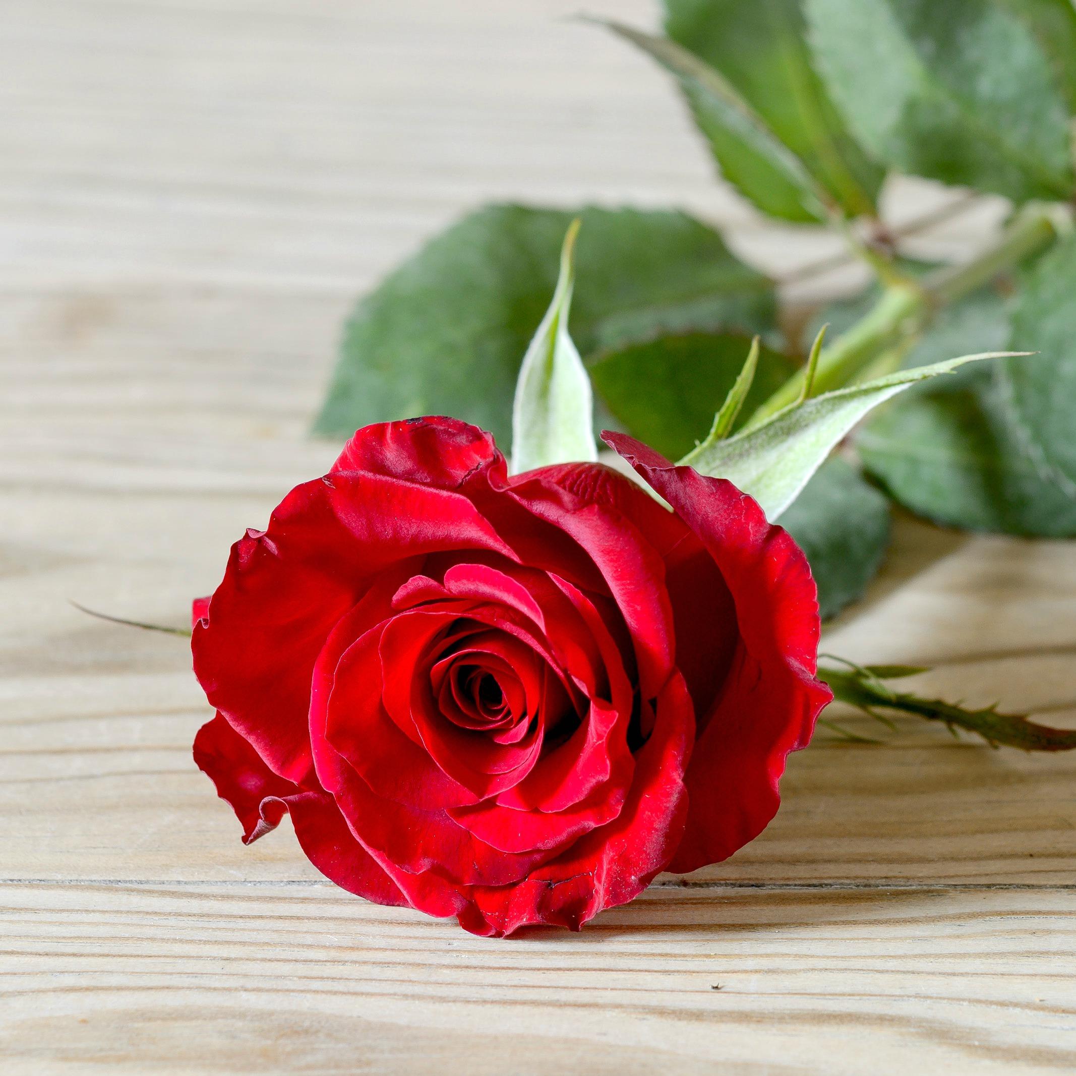 Red Rose, Nice Rose Image, 2134x2134, #17707