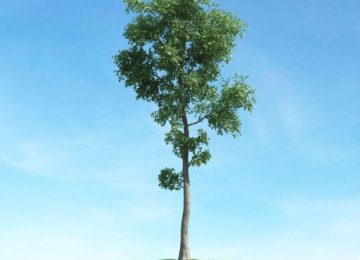 Beautiful Tall Tree
