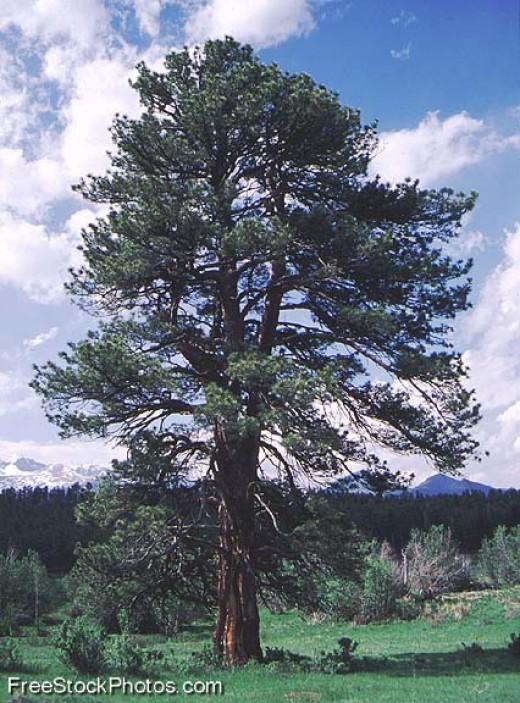 Free Tall Tree
