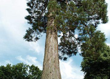 Nice Tall Tree