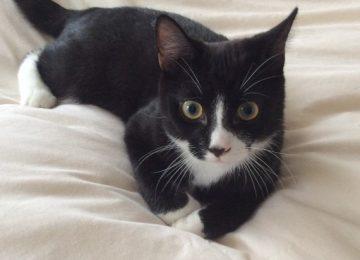 Awesome Tuxedo Cat