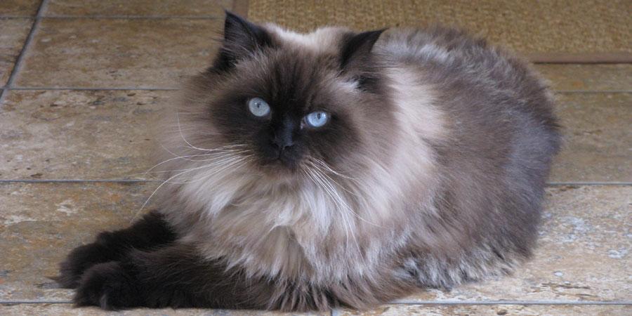 Beautiful Himalayan Cat