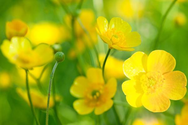 Best Buttercup Flower