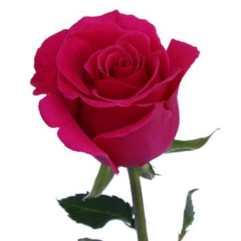 Free Pink Rose