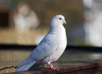 Lovely White Dove