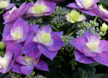 Natural Violet