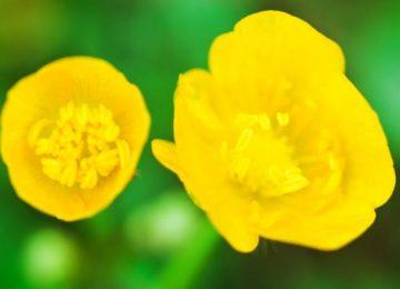 Nice Buttercup Flower