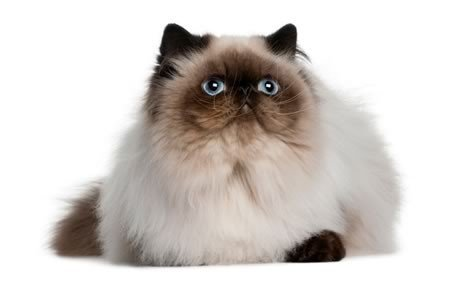 Nice Himalayan Cat