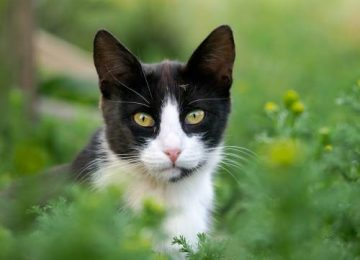 Nice Tuxedo Cat