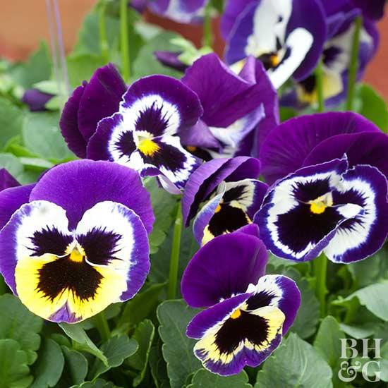 Stunning Pansy Flower