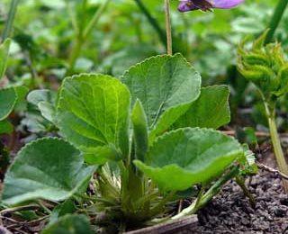 Super Violet Flower