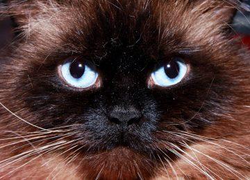 Top Himalayan Cat