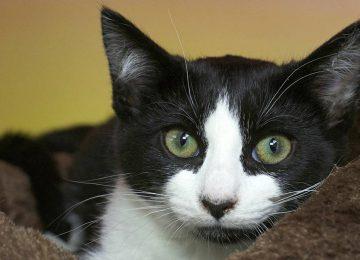 Top Tuxedo Cat