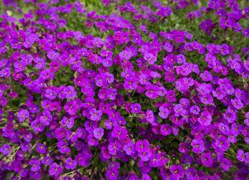 Widescreen Violet Flower