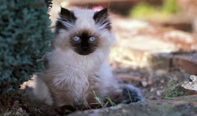 Wonderful Himalayan Cat