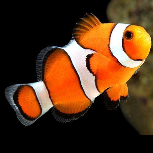 Awesome Clownfish