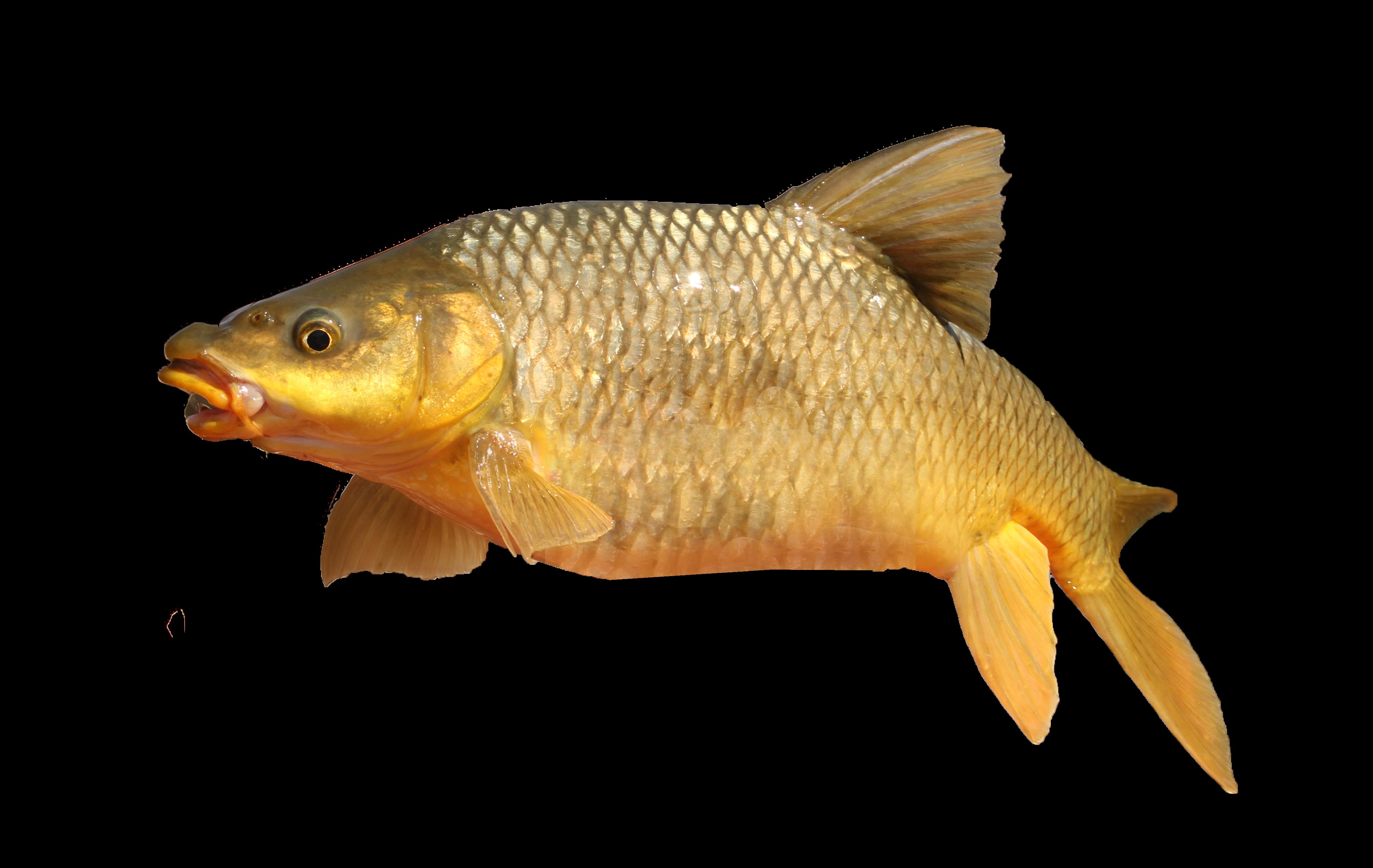 Beautiful Yellow Fish