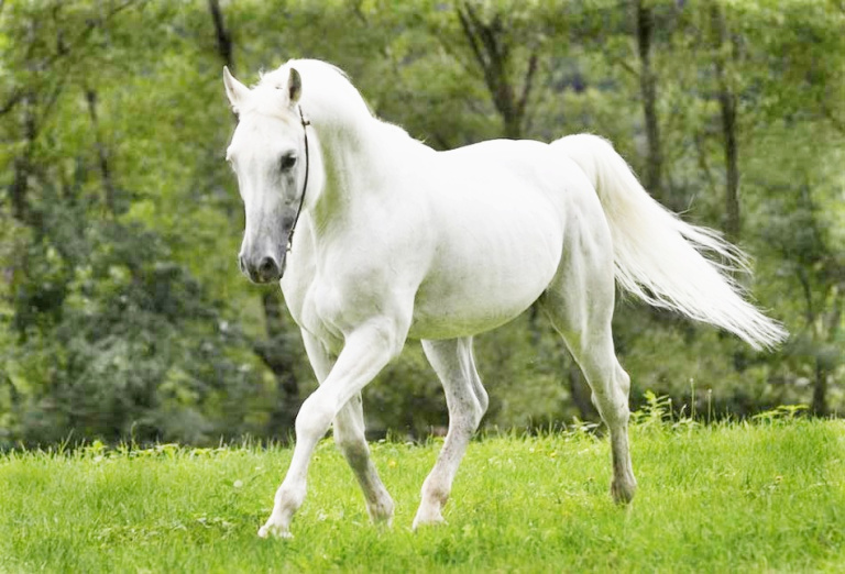 Best White Horse