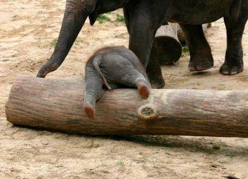 Black Baby Elephant