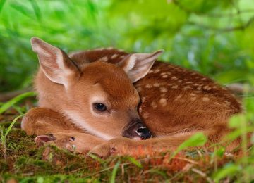 Brown Deer Wallpaper