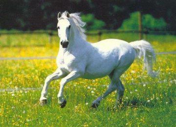 Cute White Horse