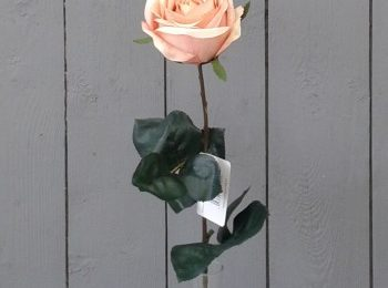 Free Peach Rose